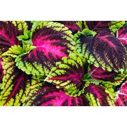 Coleus Rainbow seemned - Coleus hybridus - 15 seemnet - Coleus blumei 'Rainbow'