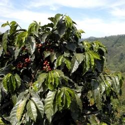 عرقیکا قهوه، قهوه بوته دانه عربستان - Coffea arabica - 8 دانه