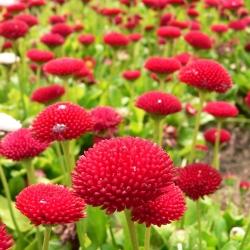Hạt giống tiếng Anh đỏ - Bellis perennis - 690 hạt
