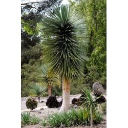 جزر الكناري ، شجرة التنين ، بذور شجرة التنين - Dracaena draco - 5 بذور - ابذرة