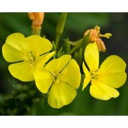 Ligetszépe - színkeverék - Oenothera - magok
