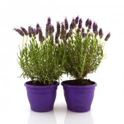 French Lavender, Spanish Lavender seeds -  Lavandula stoechas - 37 seeds
