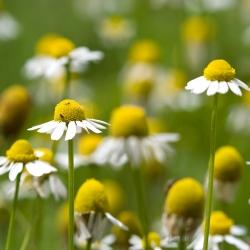 Hạt giống hoa cúc - Matricaria chamomilla - 3200 hạt