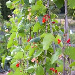Бобовые семена фасоли - Phaseolus coccineus - 7 семян
