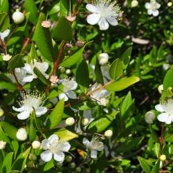 Közönséges mirtusz - 18 magok - Myrtus communis L.
