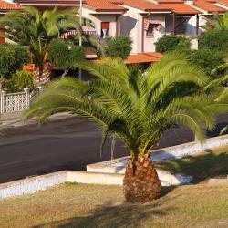 Canary Island Date Palm seeds - Phoenix canariensis - 5 seeds