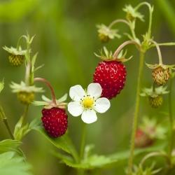 Fresa salvaje - Rugia - 640 semillas - Fragaria vesca