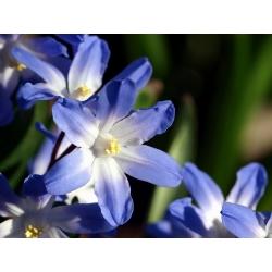 Chionodoxa forbesi blue - Glory of Snow forbesi blue - 10 củ - Chionodoxa forbesii