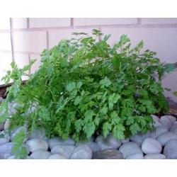 Chervil seeds - Anthriscus cerefolium - 400 seeds