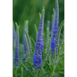 Spike Speedwell seeds - Veronica spicata - 1000 seeds