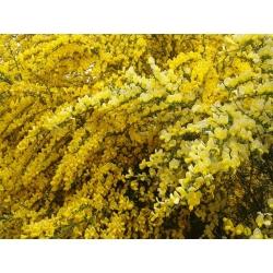 Seprűmagok - Cytisus scoparius