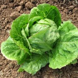 Lettuce Summer Queen seeds - Lactuca sativa - 1150 seeds