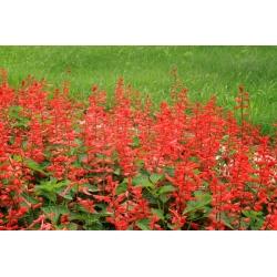 Salvia Vista Mix seeds - Salvia splendens - 84 seeds