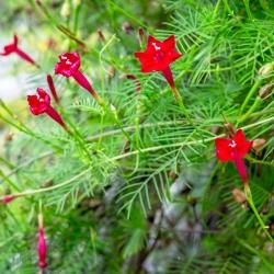 Ipomoea quamoclit - 20 magok - piros