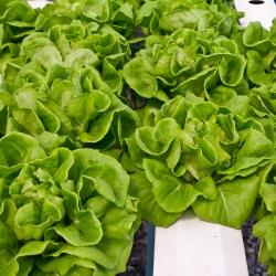 Lettuce Olenka seeds - Lactuta sativa - 800 seeds