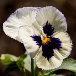 بذور بانسي سيلفيبرايد - فيولا س wittrockiana - 400 بذور - Viola x wittrockiana  - ابذرة