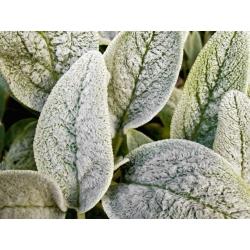 Semillas de cordero - Stachys lanata - 110 semillas