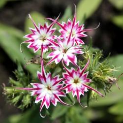 Drummond's Phlox Twinkle Star seemned - Phlox drummonda cuspidata nana - 500 seemnet - Phlox drummondii cuspidata var. Stellaris