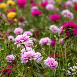 Moss Rose Dvojlôžková Mix - Portulaca grandiflora fl.pl. - 4500 semien - semená