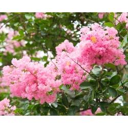 Kínai selyemvirágfa - 40 magok - Lagerstroemia indica