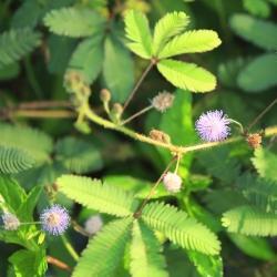الميموزا ، بذور النباتات الحساسة - ميموزا بوديكا - 34 بذور - Mimosa pudica - ابذرة