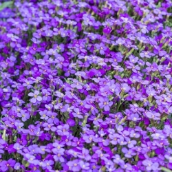 Aubrieta mixed seeds - Aubrieta hybrida - 780 seeds