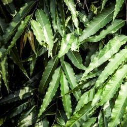 Citromos eukaliptusz, citrom illatú gumi magok - Corymbia citriodora - Eucalyptus citriodora