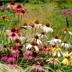 Zmiešané semená - Echinacea - 200 semien - Echinacea purpurea