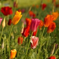 Amapola de California, semillas de Amapola Dorada - Eschscholzia californica - 600 semillas