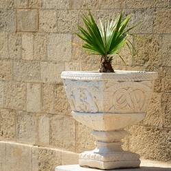 Cotton Palm, Desert Fan Palm seeds - Washingtonia filifera - 5 seeds