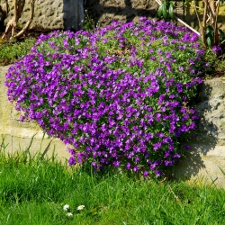 Aubrieta mixed seeds - Aubrieta hybrida - 780 seeds