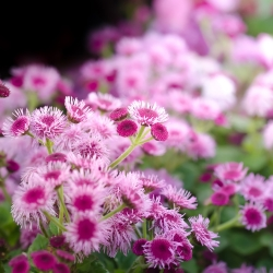 Agerantum, Floss Flower seeds - Ageratum houstonianum Mill. - 4750 biji - benih