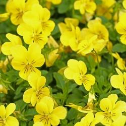 Trailing Viola seeds - Viola x williamsii - 270 seeds