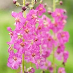 Purple Mullein seeds - Verbascum phoeniceum - 800 seeds