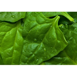 Uus - Meremaa spinat - 70 seemned - Tetragonia expansa L.