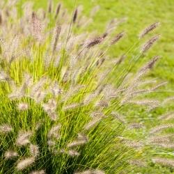عشب الزينة السنوي مزيج البذور - 400 البذور -  - ابذرة