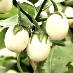 Eggplant 'Golden Egg' seeds - Solanum melongena - 25 seeds
