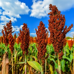 Black Millet seeds - Sorghum nigrum - 60 seeds