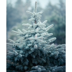 Kék lucfenyő, Colorado kék lucfenyőmag - Picea pungens glauca - 22 mag - Picea pungens f. glauca - magok