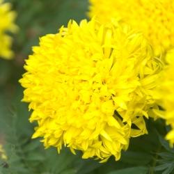 Marigold Fantastic seeds - Tagetes erecta - 90 seeds