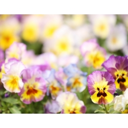 Pansy Imperial Antique Shades, Liebesduett seeds - Viola x wittrockiana - 320 seeds