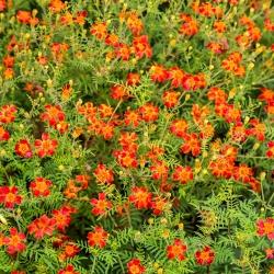 Ahtalehine peiulill - Red Gem - 390 seemned - Tagetes tenuifolia