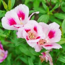Biji Godetia Cattleya - Godetia grandiflora - 1500 biji - Godetia grandifllora - benih