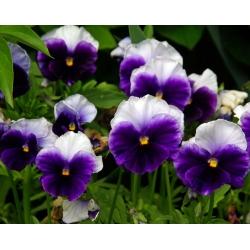 Võõrasema - Lord Beaconsfield - lilla ja valge - 250 seemned - Viola x wittrockiana