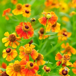 Олія помаранчева, Насіння кігтя Сови - Helenium hoopesii - 250 насінин - насіння