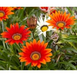 Treasure Flower, Gazania keverjük magokat - Gazania rigens - 75 mag - Gazania splendens
