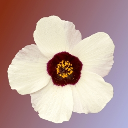 Venice Mallow, hạt giống hoa giờ - Hibiscus trionum - 220 hạt