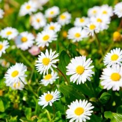 Daisy thông thường, hạt cỏ Daisy - Bellis perennis - 1200 hạt