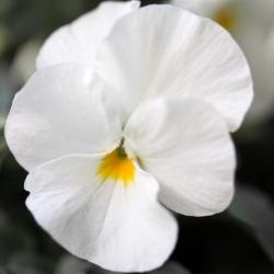 Фиа́лка Ви́ттрока - Mont Blanc - белый - 400 семена - Viola x wittrockiana