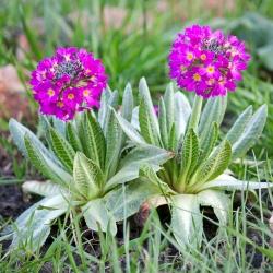 Biji Drumstick Primrose - Primula denticulata - 600 biji - Penicula denticulata - benih